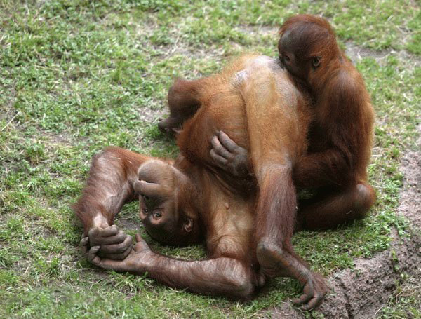 Primates oral sex